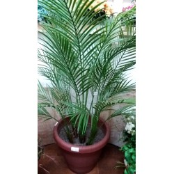 PLANTA ARECA ARTIFICIAL...